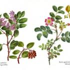 image of rose-manzanita watercolor