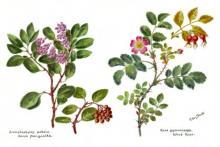 image of rose-manzanita watercolor